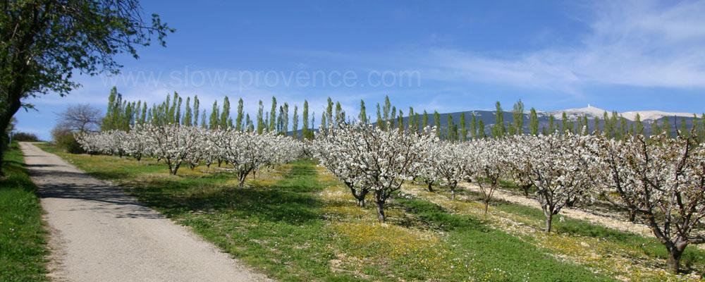 Mont Ventoux vergers cerisiers