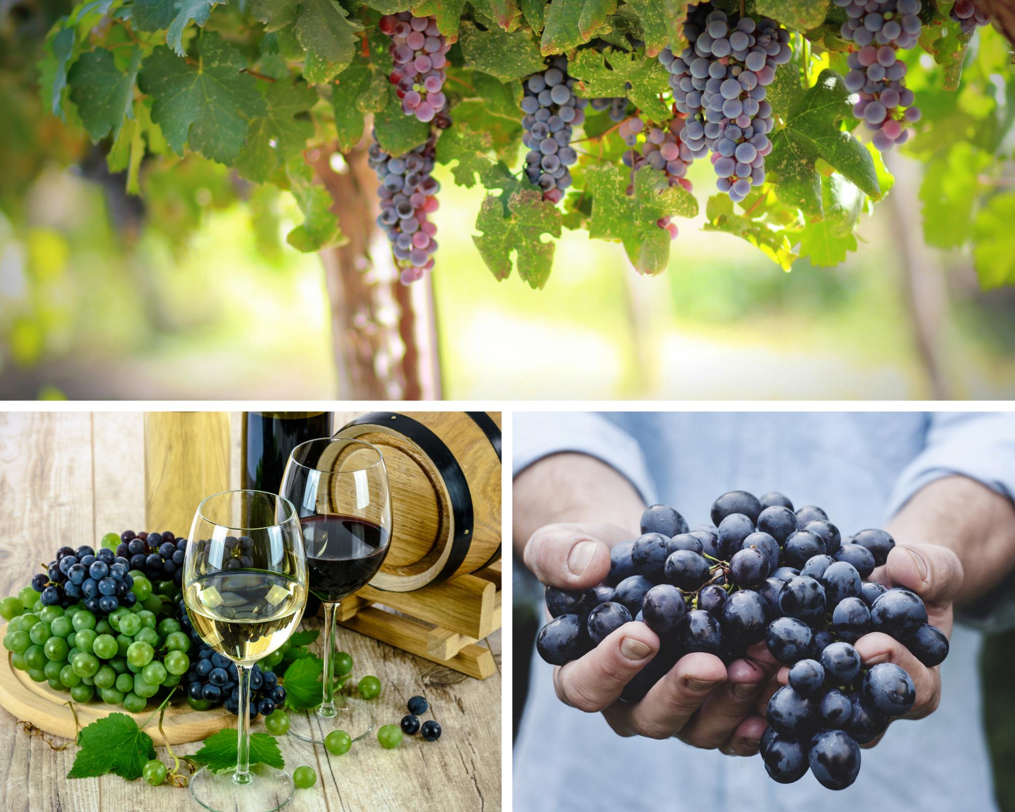 vintage harvest in Provence